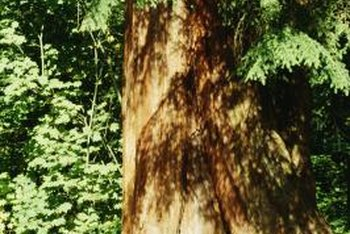 Cedar trees thrive in full sun to partial shade.