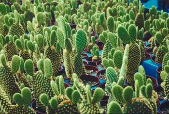Each paddle on a cactus can grow into a new plant.