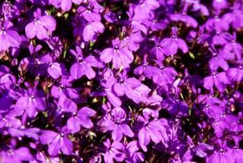 An ounce of small flower seeds, such as lobelia, can contain thousands of seeds.
