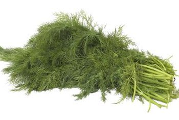 Dill produces tall stems, lacy leaves and yellow flower clusters.