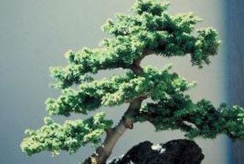 A Canadian hemlock bonsai grows well outdoors or in.