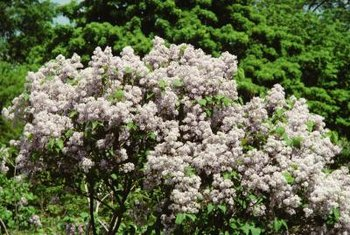 Lilacs bloom on year-old wood.
