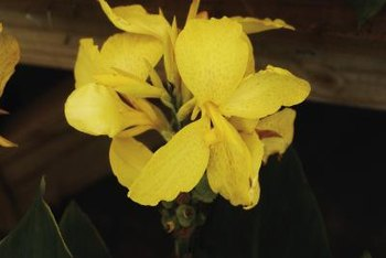 Canna lilly blossoms add bright colors to your yard.