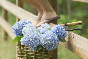 Cut the blooms off bigleaf hydrangea and use them in floral arrangements.