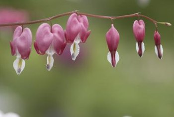 Bleeding hearts grow in full shade and would suit a shady balcony.