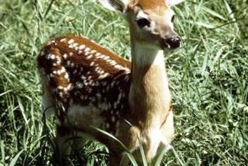 Fawns are adorable until they grow up and eat your landscaping.