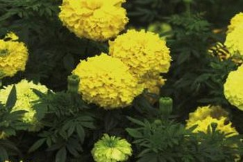 African marigolds are taller than French marigolds.