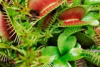 The infamous traps of Dionaea muscipula.
