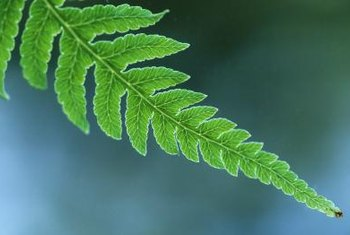 Most ferns produce flat, sword-shaped fronds.