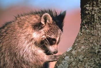 Racoons and other wild animals may be bringing fleas to your home.
