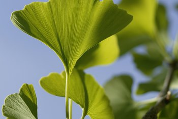 The gingko tree's leaves turn from green to a brilliant yellow each fall.
