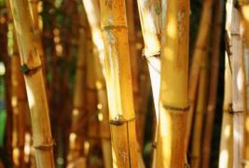 Golden bamboo turns yellow when exposed to sunlight.