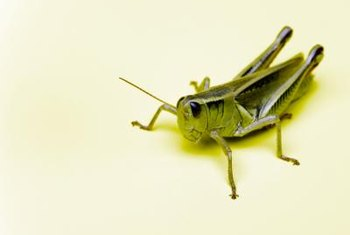 Learn how to keep grasshoppers off your shrubs.