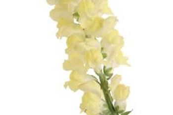 Yellow snapdragons offer tall lines in your cut-flower arrangements.