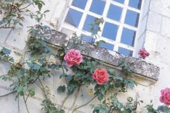 Climbing roses can be trained with support to grow along a wall.