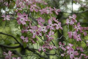 Dogwoods bear distinctive white, pink or red flowers in spring.