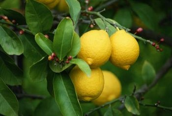 Lemon trees frequently host sap-feeding insects that attract ants.