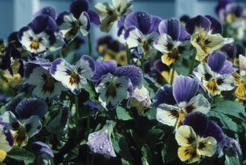 Pansies bloom in winter and spring when temperatures are cool.