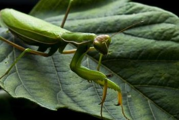 The praying mantis is often hard to spot in dense vegetation.