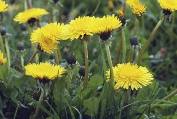 Add a splash of color to spring dishes with the edible dandelion flower petals.