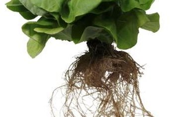 Hydroponic lettuce keeps longer with the roots attached.