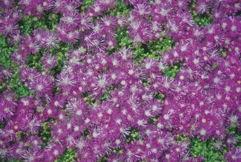 Ice plant is a low-maintenance succulent ground cover.