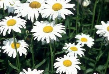 Oxeye daisies reproduce prolifically and can cause havoc in the garden.