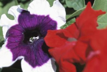 Petunias come in every color except black and brown.