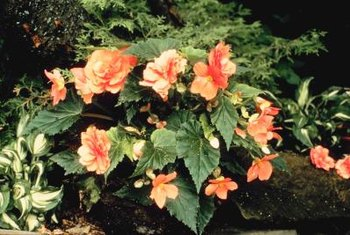 Many species of begonias propagate from leave cuttings.