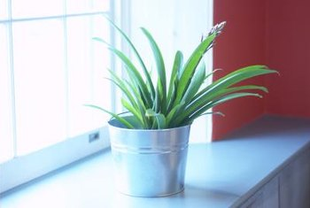 Grow your bromeliad in a pot to accent an indoor area or shelf.