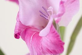 Gladiolus are good cut flowers for indoors.