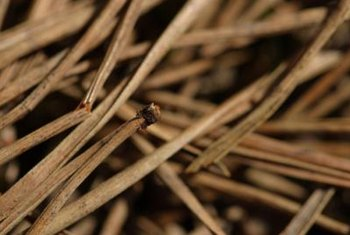 Old pine needles provide an inexpensive mulch.