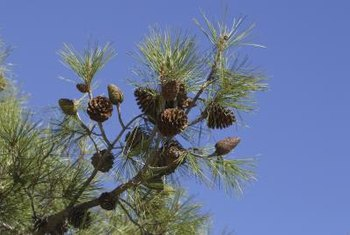 The cones of gymnosperms are their equivalent of flowers.