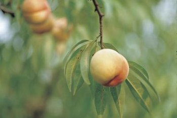 Healthy peach trees are less susceptible to problems.
