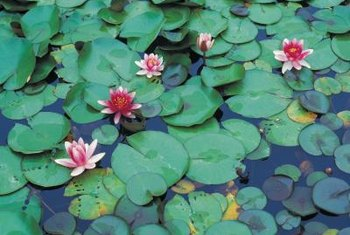 Small waterlilies make a great addition to pond surfaces.