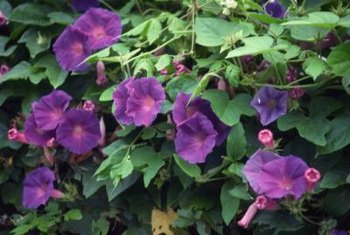 Morning glories bloom in shades of purple, blue, cream, pink or red.
