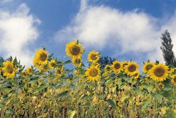 Tall sunflowers can hide a chain-link fence.