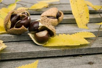 Don't eat buckeye seeds, which are often poisonous.