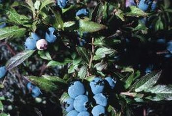 Before berries arrive, bell-shaped flowers decorate blueberry bushes.