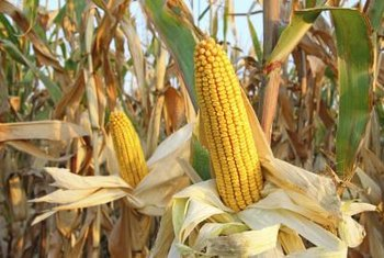 University of Florida scientists think they might be able to one day produce perennial corn.