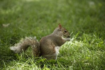 Squirrels visit gardens to eat various kinds of plants.