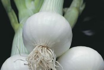 Onion plants resemble and are closely related to shallots, chives and garlic.