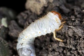 Grub worms are harmful to your plants because they eat their roots.
