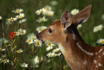 Choose the right plants to keep deer from lunching on your landscaping.