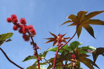 Castor bean plants are fast growers.