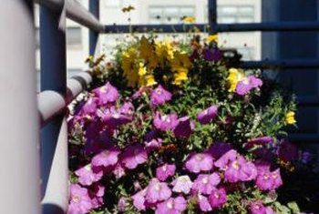 Trailing petunias cascade over the rim of containers.