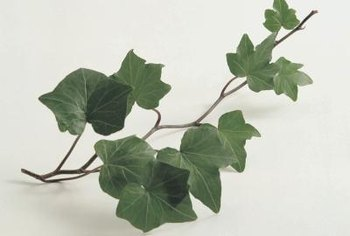 English ivy may be best grown as a houseplant or confined to a container.