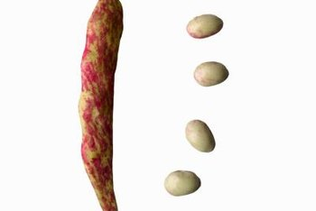 Each bean pod contains four to six bean seeds.