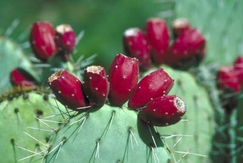The prickly pear cactus fruits are spiny but edible when cleaned.