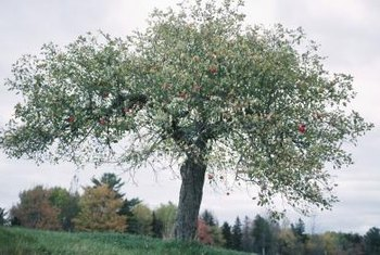 The size of an apple tree can affect whether it survives blowing over.